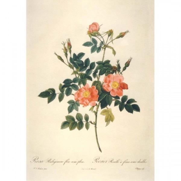 Postkarte Rosa Rubiginosa