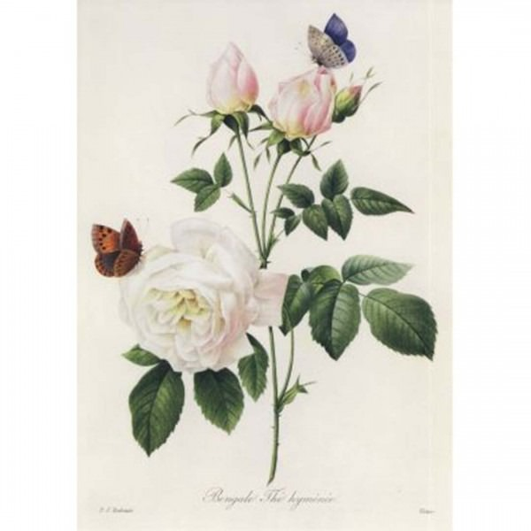 Postkarte Rosa Bengale Thé hymenée