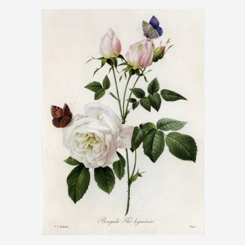 Rosa Bengale Thé hymenée (Redouté)