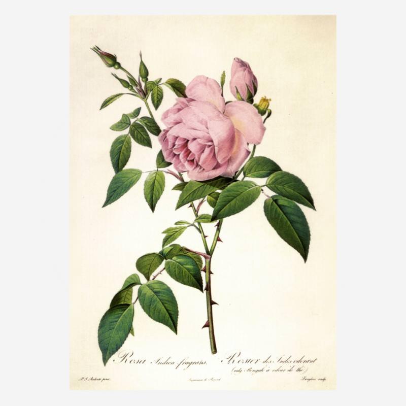Rosa Indica fragrans (Redouté)