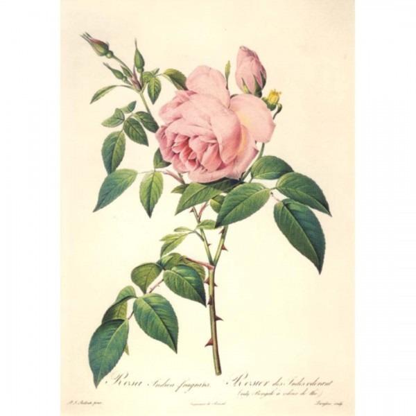 Postkarte Rosa Indica fragrans